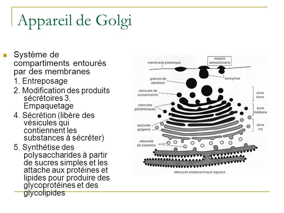 Appareil de Golgi Système de compartiments entourés par des membranes