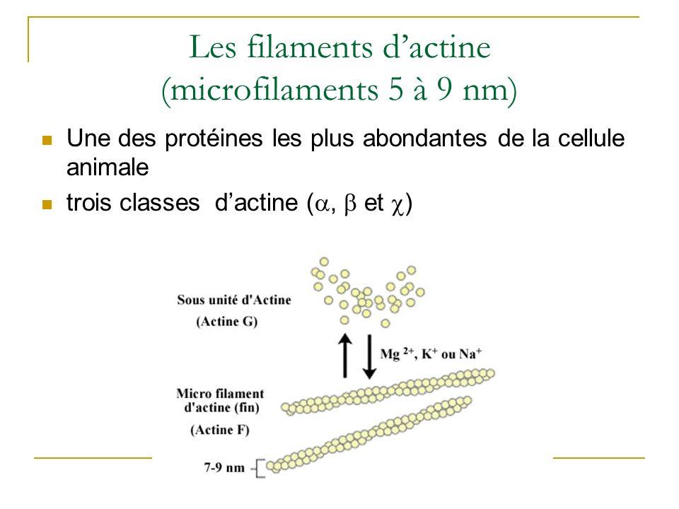 Les filaments d'actine (microfilaments 5 à 9 nm)