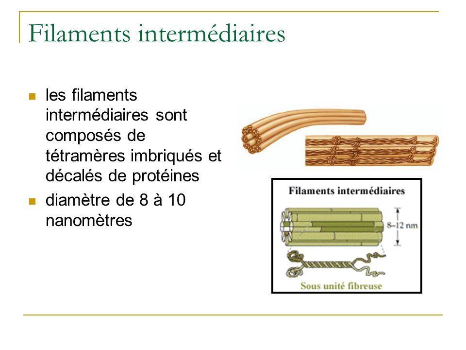 Filaments intermédiaires