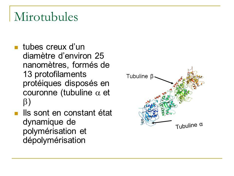 Mirotubules tubes creux d'un diamètre d'environ 25 nanomètres, formés de 13 protofilaments protéiques disposés en couronne (tubuline a et b)