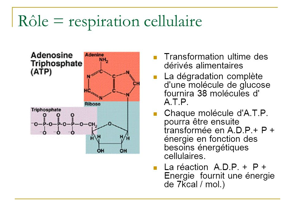 Rôle = respiration cellulaire