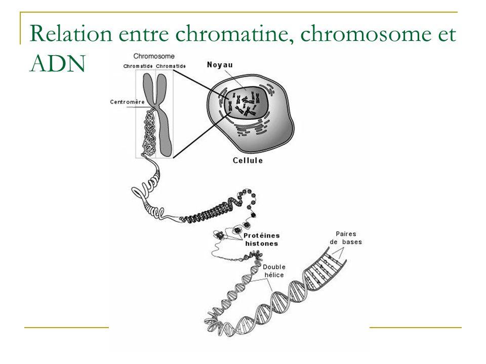 Relation entre chromatine, chromosome et ADN