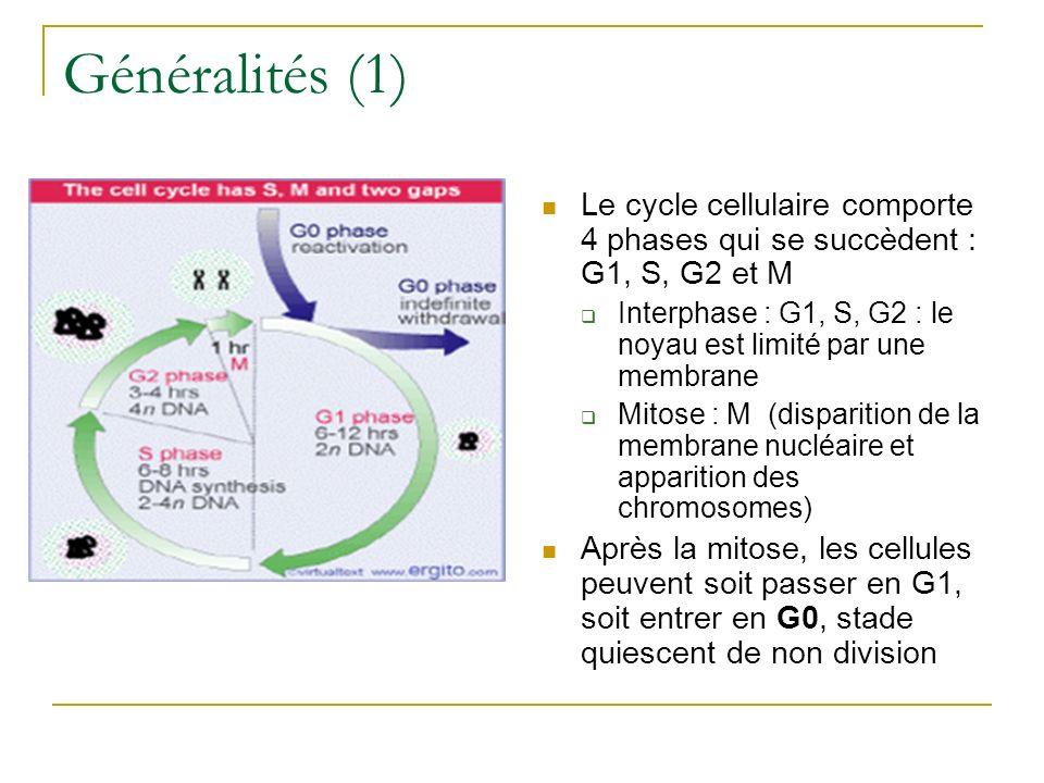 Généralités (1) Le cycle cellulaire comporte 4 phases qui se succèdent : G1, S, G2 et M.