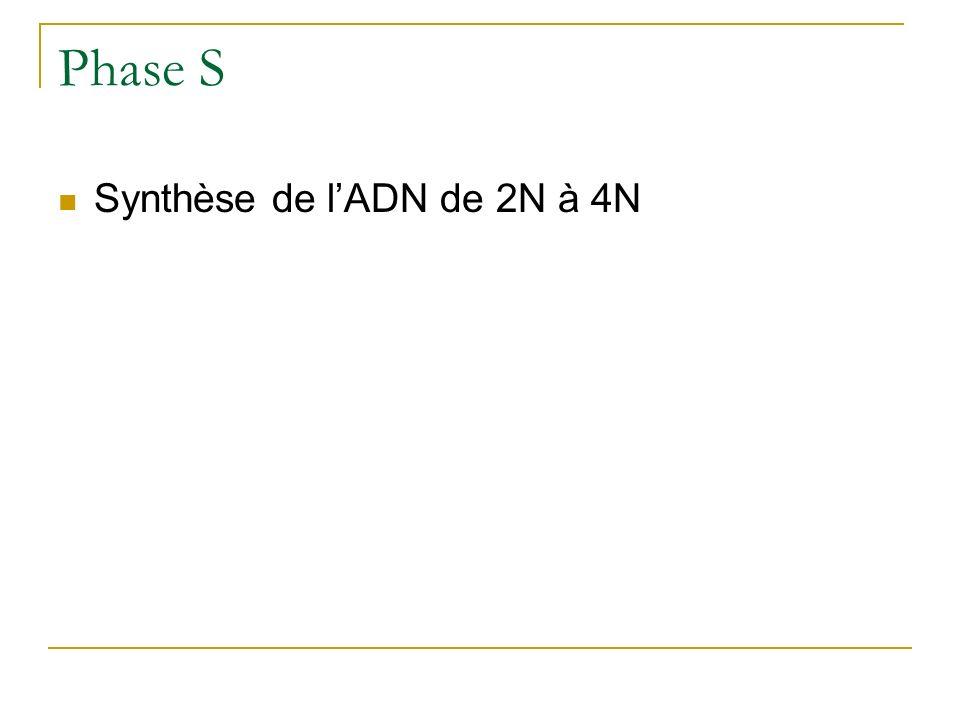 Phase S Synthèse de l'ADN de 2N à 4N