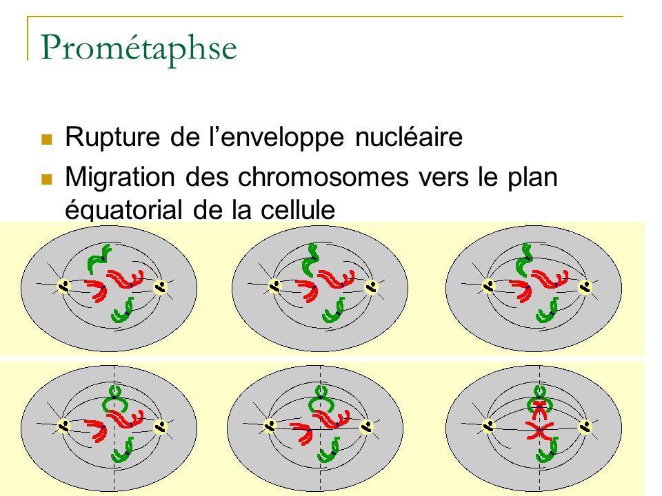 Prométaphse Rupture de l'enveloppe nucléaire