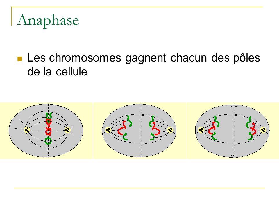 Anaphase Les chromosomes gagnent chacun des pôles de la cellule