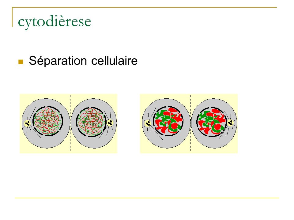 cytodièrese Séparation cellulaire