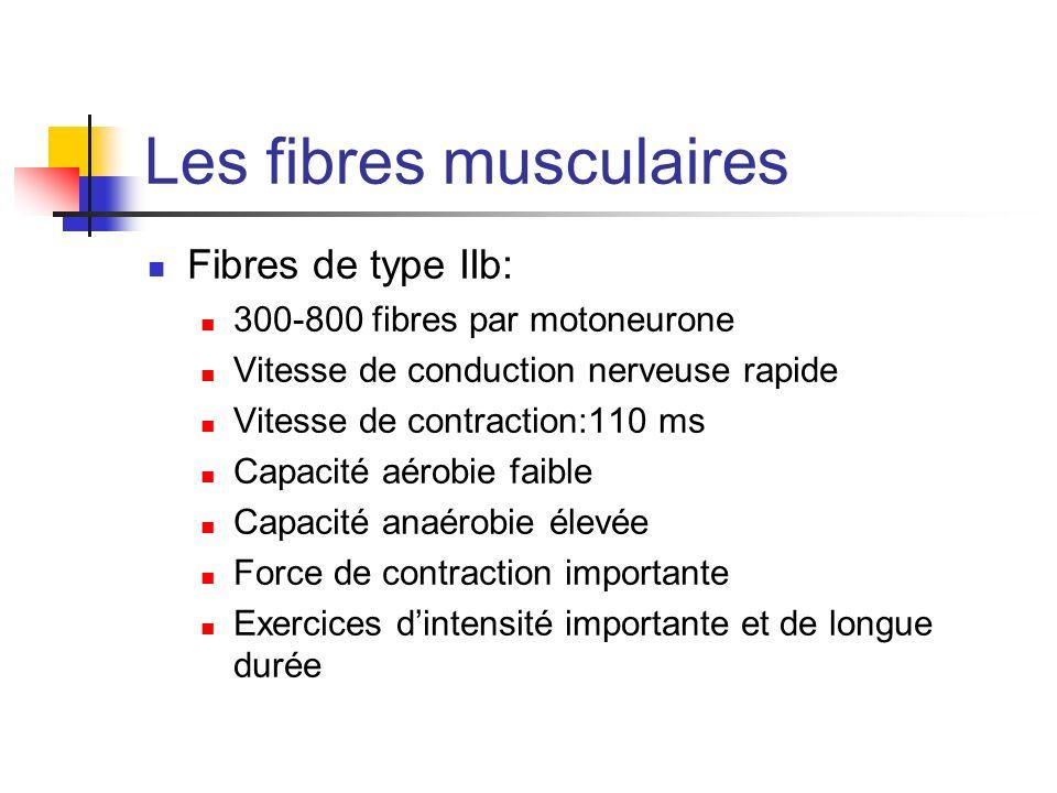 Les fibres musculaires