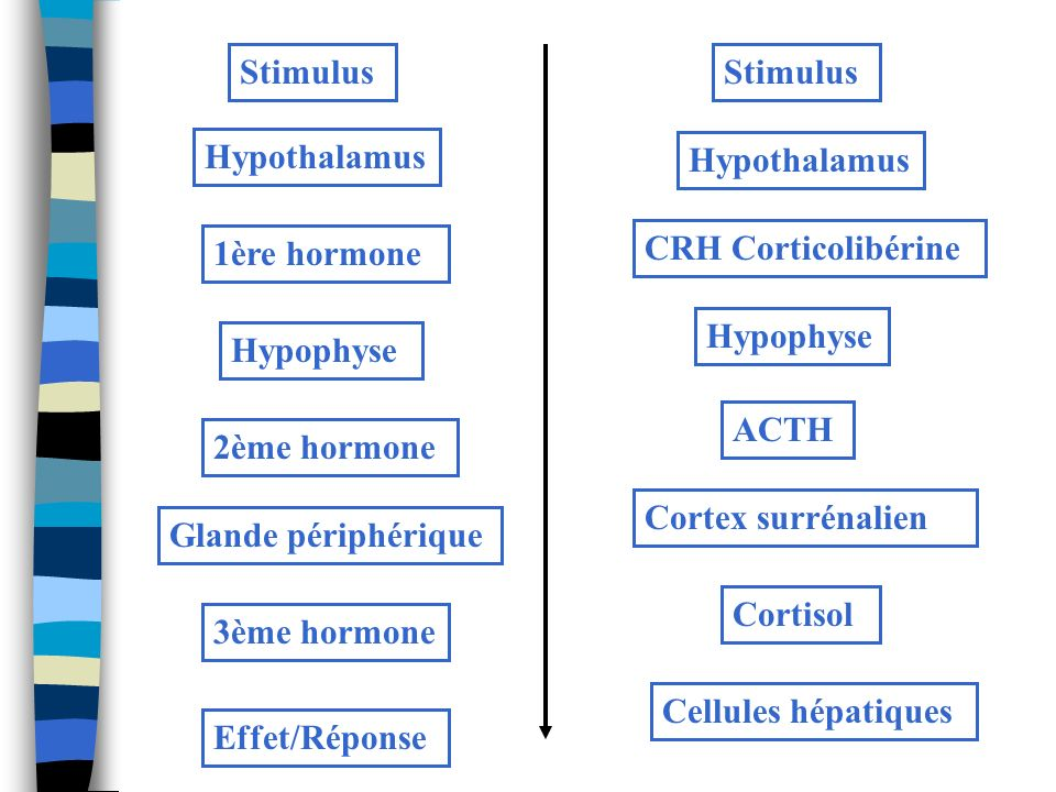 Stimulus Stimulus. Hypothalamus. Hypothalamus. 1ère hormone. CRH Corticolibérine. Hypophyse. Hypophyse.