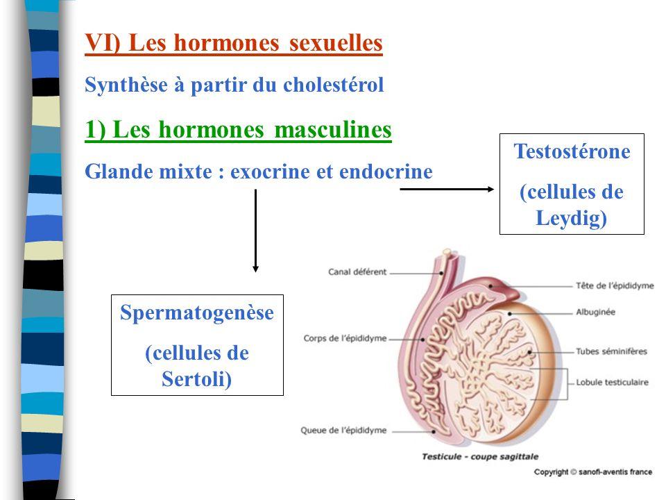 VI) Les hormones sexuelles 1) Les hormones masculines