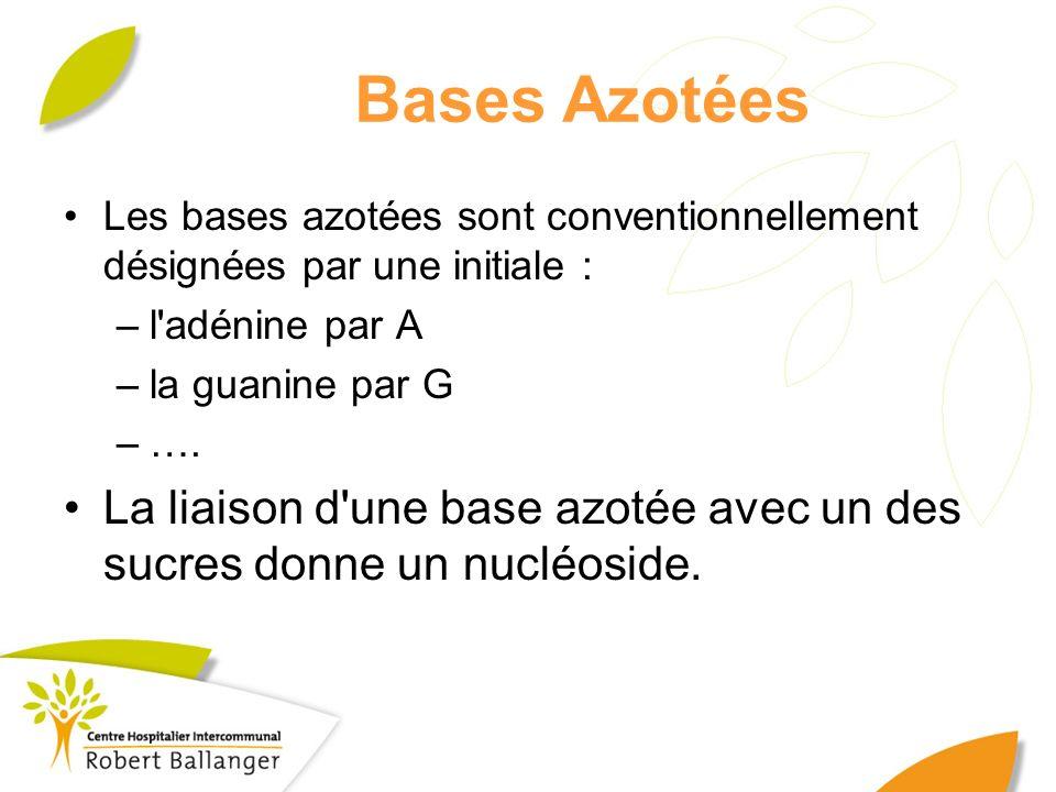 Bases Azotées Les bases azotées sont conventionnellement désignées par une initiale : l adénine par A.