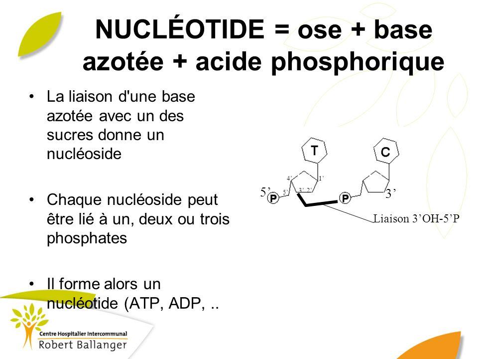 NUCLÉOTIDE = ose + base azotée + acide phosphorique