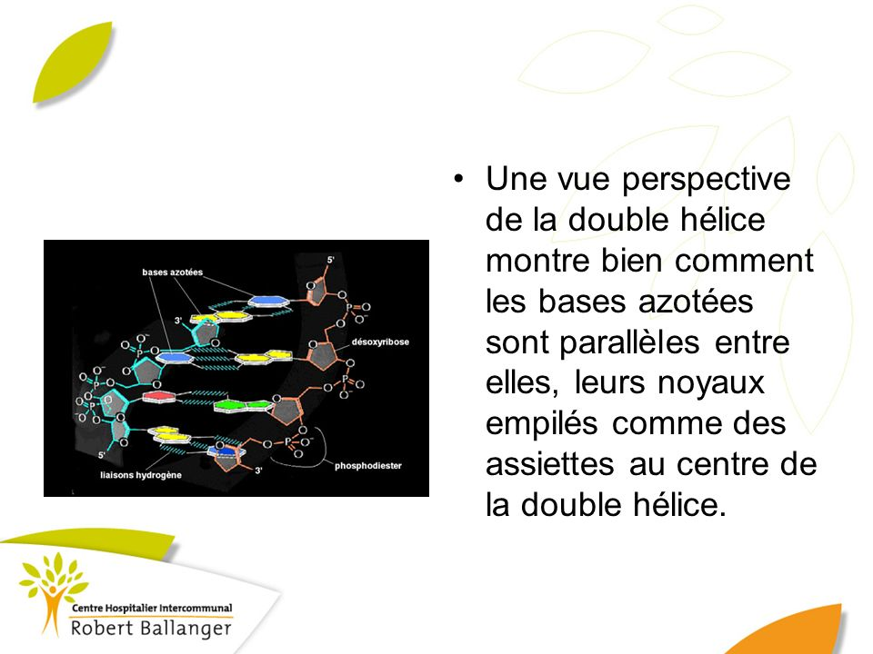 Une vue perspective de la double hélice montre bien comment les bases azotées sont parallèles entre elles, leurs noyaux empilés comme des assiettes au centre de la double hélice.