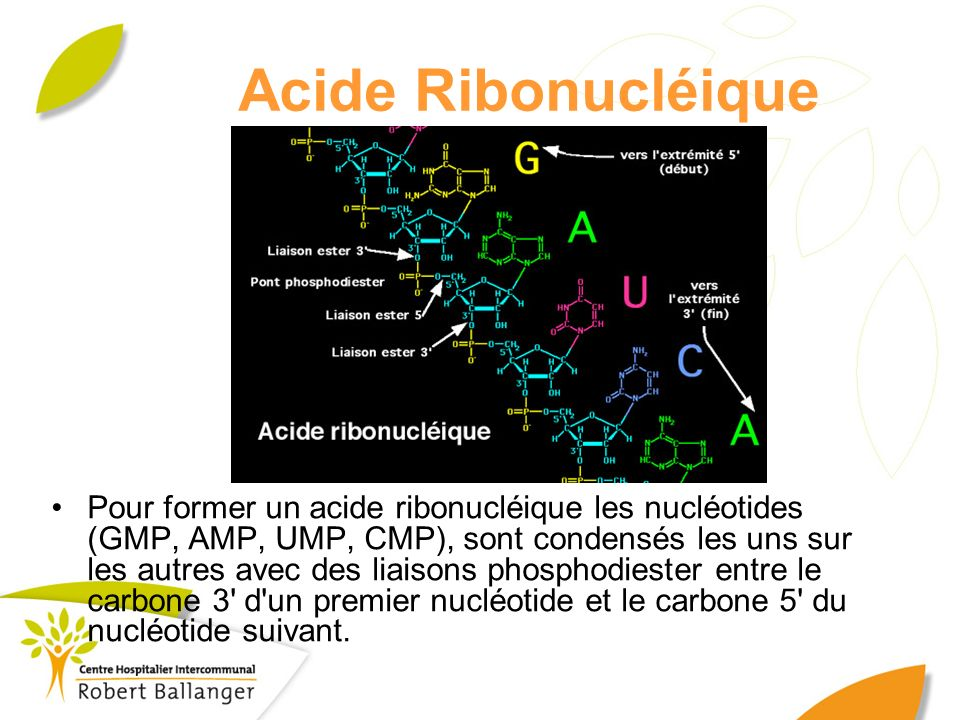 Acide Ribonucléique