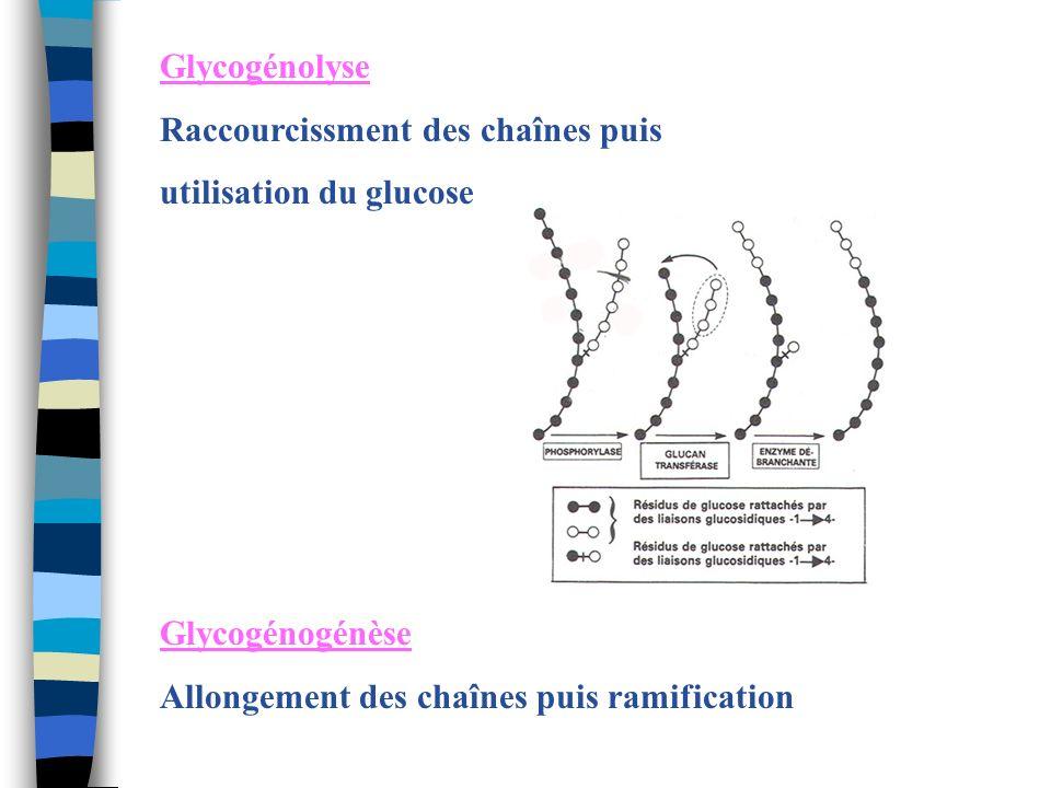 Glycogénolyse Raccourcissment des chaînes puis. utilisation du glucose.