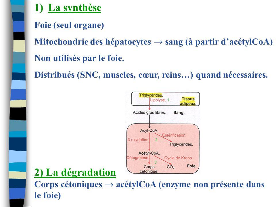 La synthèse 2) La dégradation Foie (seul organe)