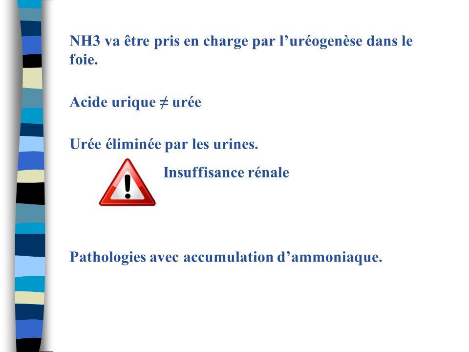 NH3 va être pris en charge par l'uréogenèse dans le foie.