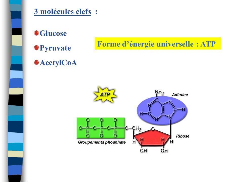 3 molécules clefs : Glucose Pyruvate AcetylCoA Forme d'énergie universelle : ATP