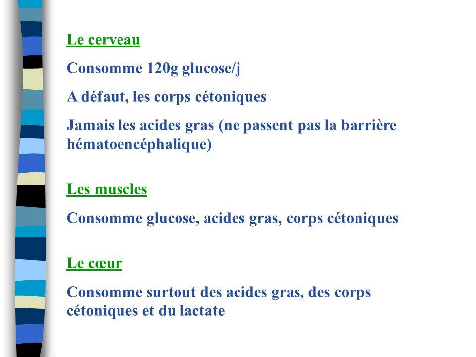 Le cerveau Consomme 120g glucose/j. A défaut, les corps cétoniques. Jamais les acides gras (ne passent pas la barrière hématoencéphalique)