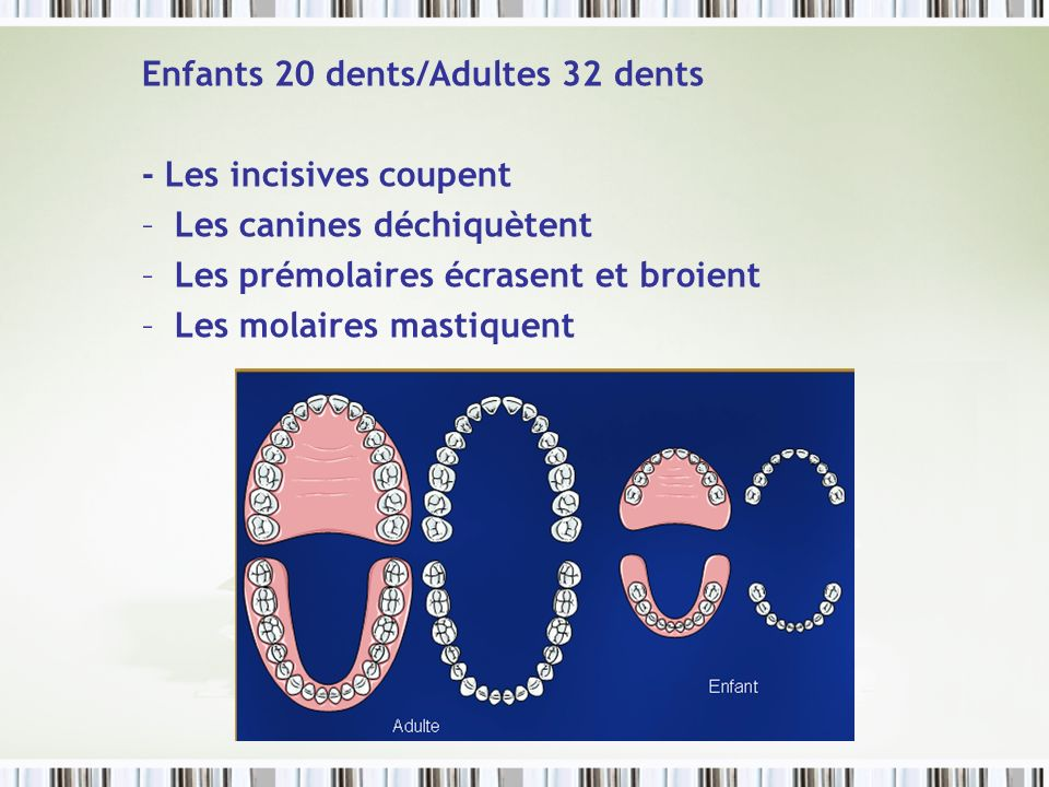Enfants 20 dents/Adultes 32 dents
