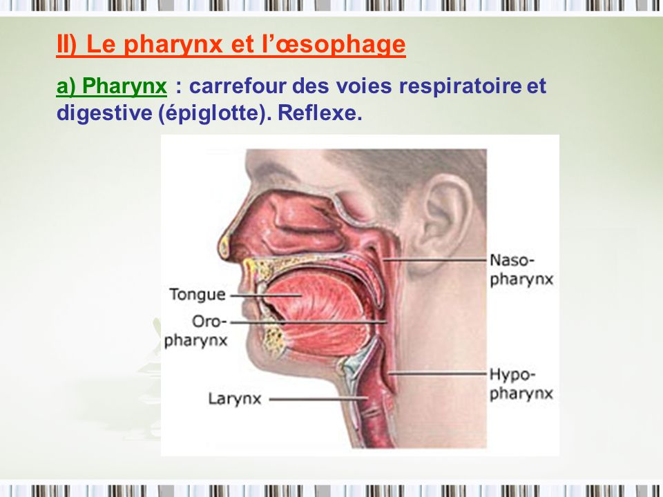 II) Le pharynx et l'œsophage