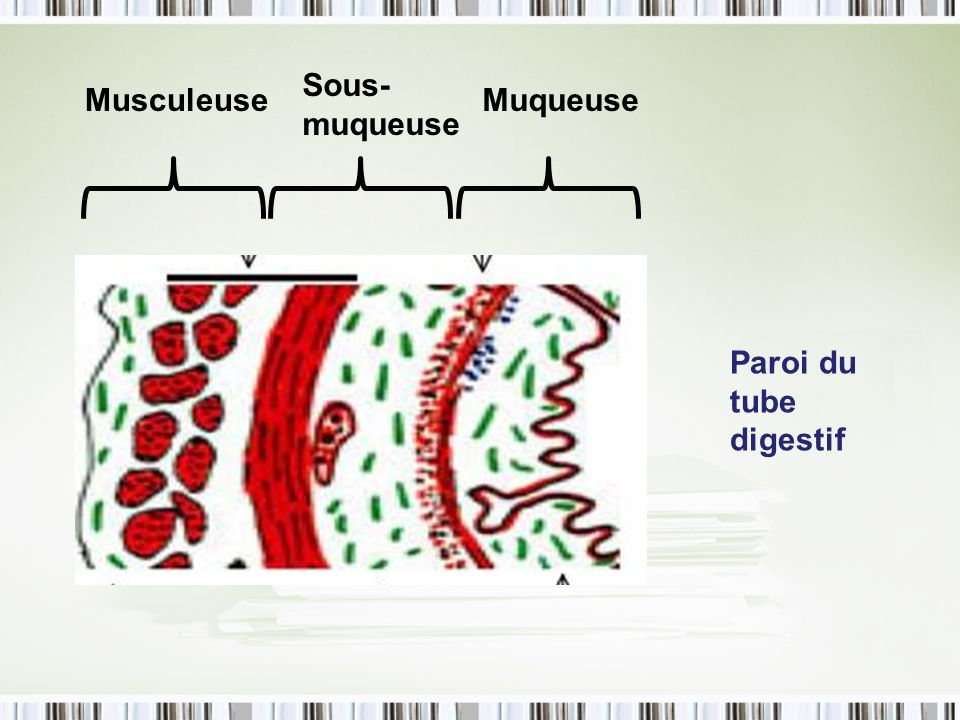 Sous-muqueuse Musculeuse Muqueuse Paroi du tube digestif