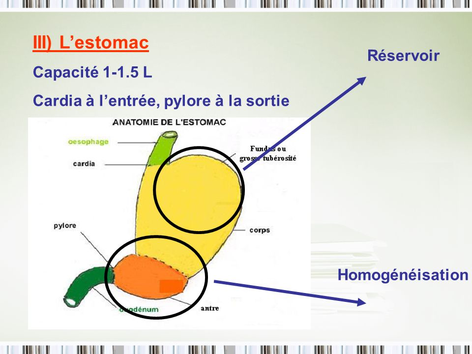 III) L'estomac Capacité 1-1.5 L Réservoir