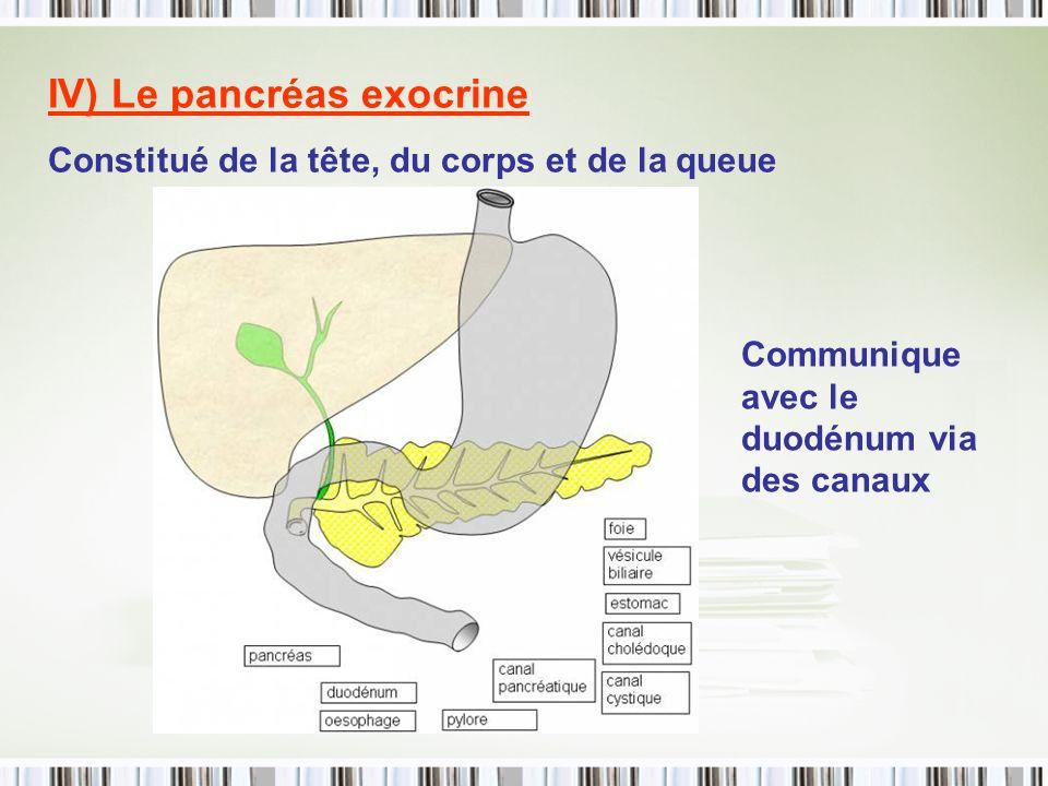 IV) Le pancréas exocrine