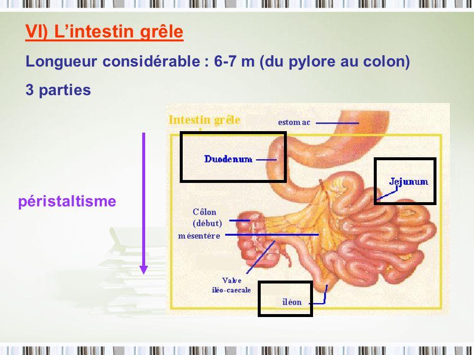 VI) L'intestin grêle Longueur considérable : 6-7 m (du pylore au colon) 3 parties péristaltisme