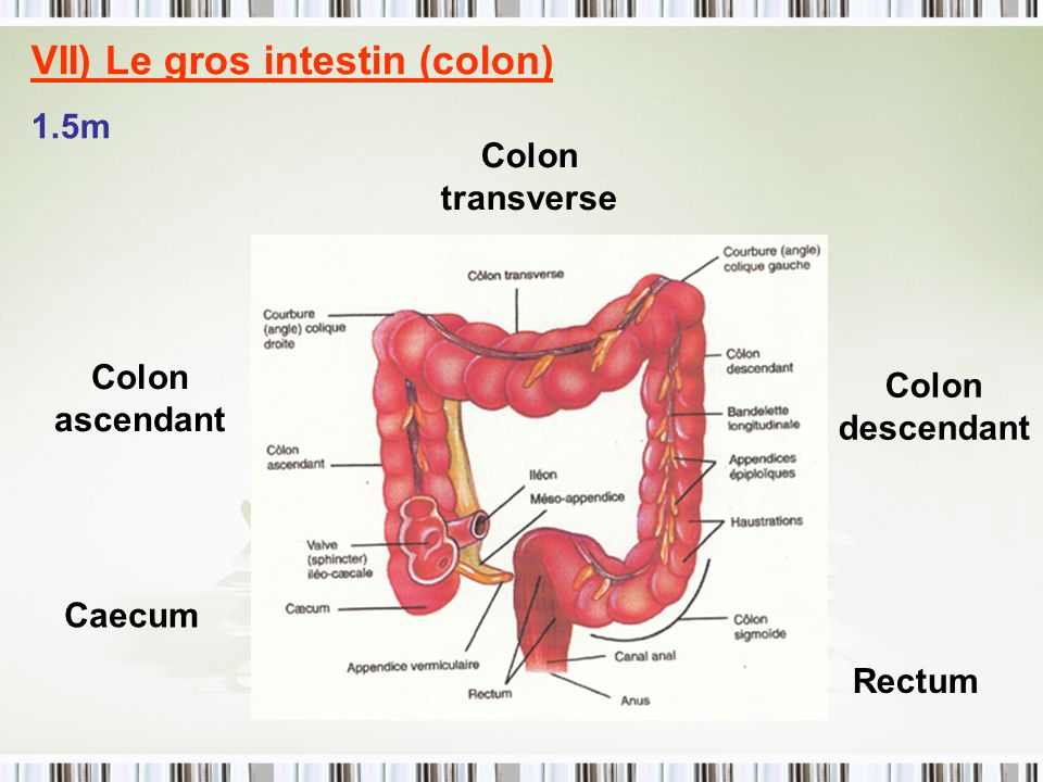VII) Le gros intestin (colon)