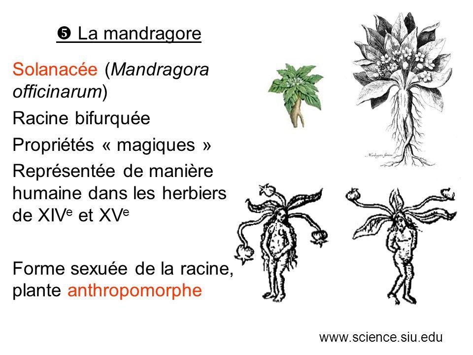 Solanacée (Mandragora officinarum) Racine bifurquée