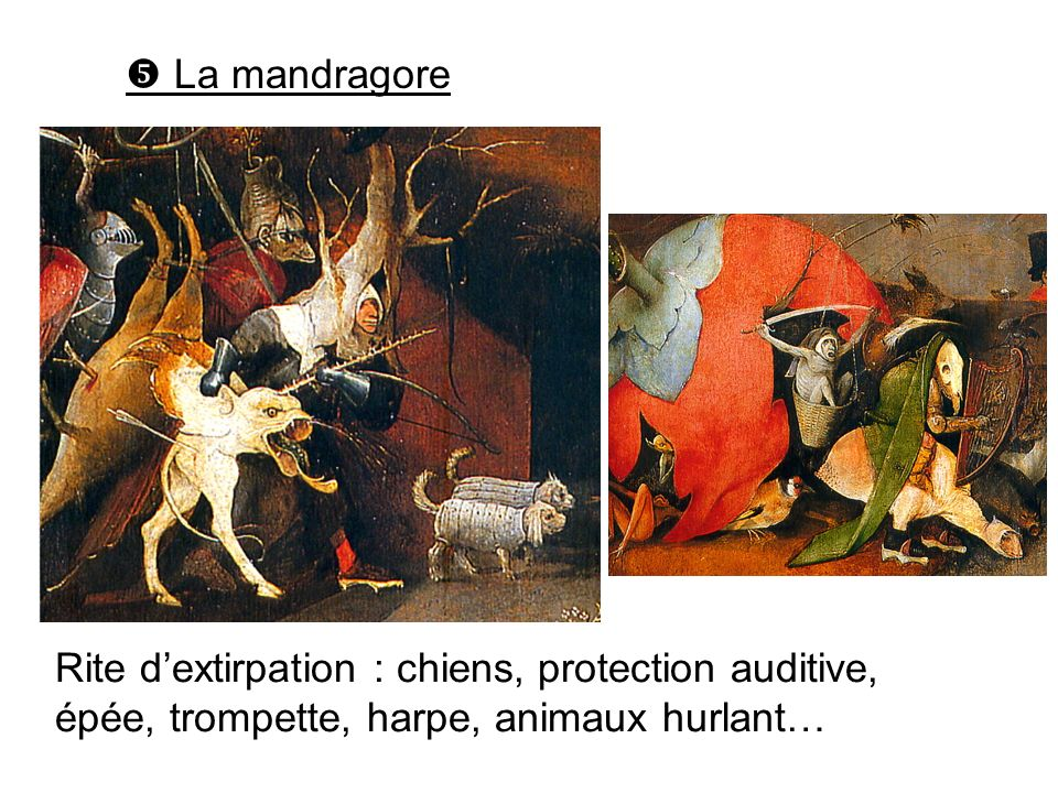  La mandragore Rite d'extirpation : chiens, protection auditive, épée, trompette, harpe, animaux hurlant…
