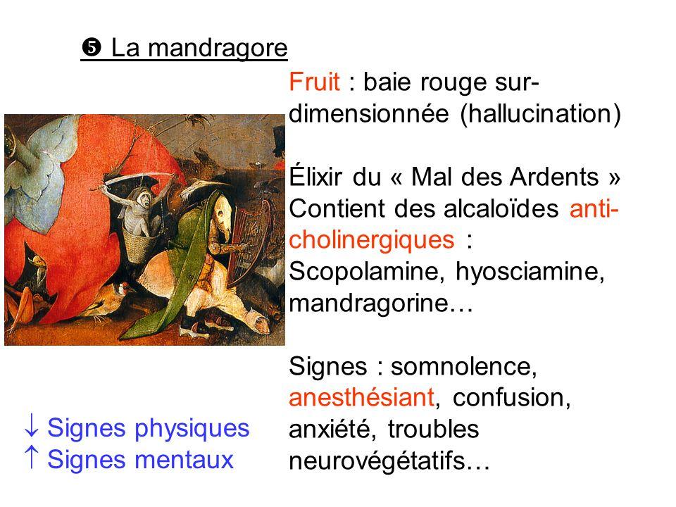  La mandragore Fruit : baie rouge sur-dimensionnée (hallucination) Élixir du « Mal des Ardents » Contient des alcaloïdes anti-cholinergiques :