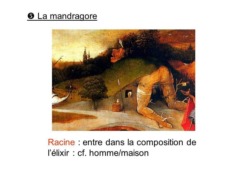  La mandragore Racine : entre dans la composition de l'élixir : cf. homme/maison