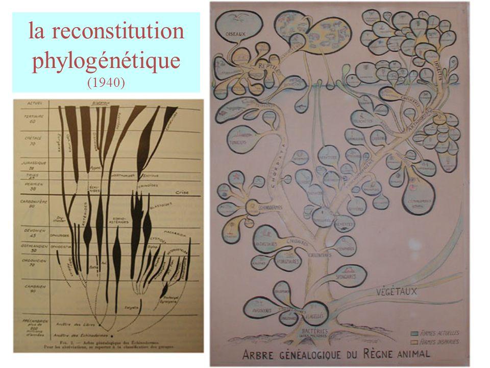 la reconstitution phylogénétique (1940)
