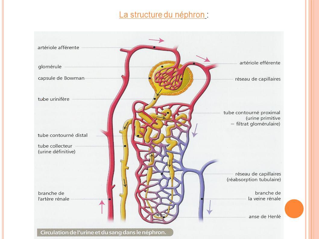 La structure du néphron :
