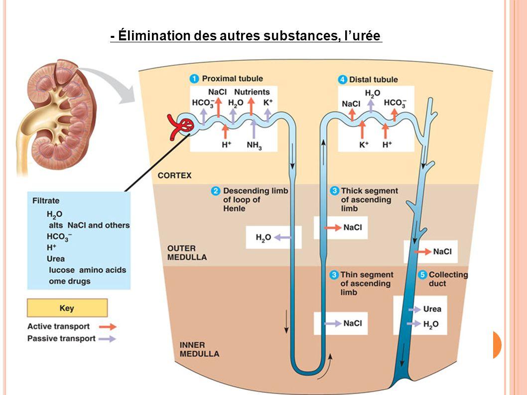 - Élimination des autres substances, l'urée