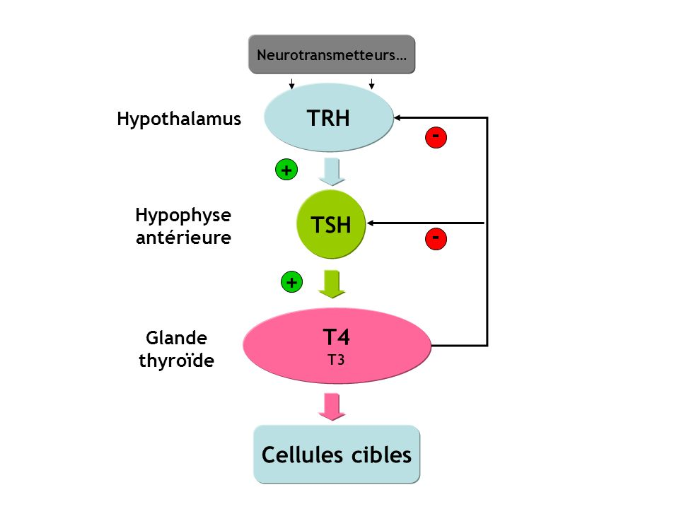 TRH - + TSH - + T4 Cellules cibles