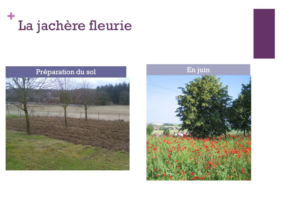 La jachère fleurie En juin Préparation du sol