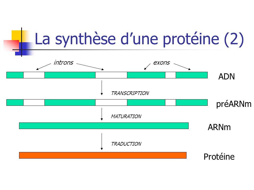La synthèse d'une protéine (2)
