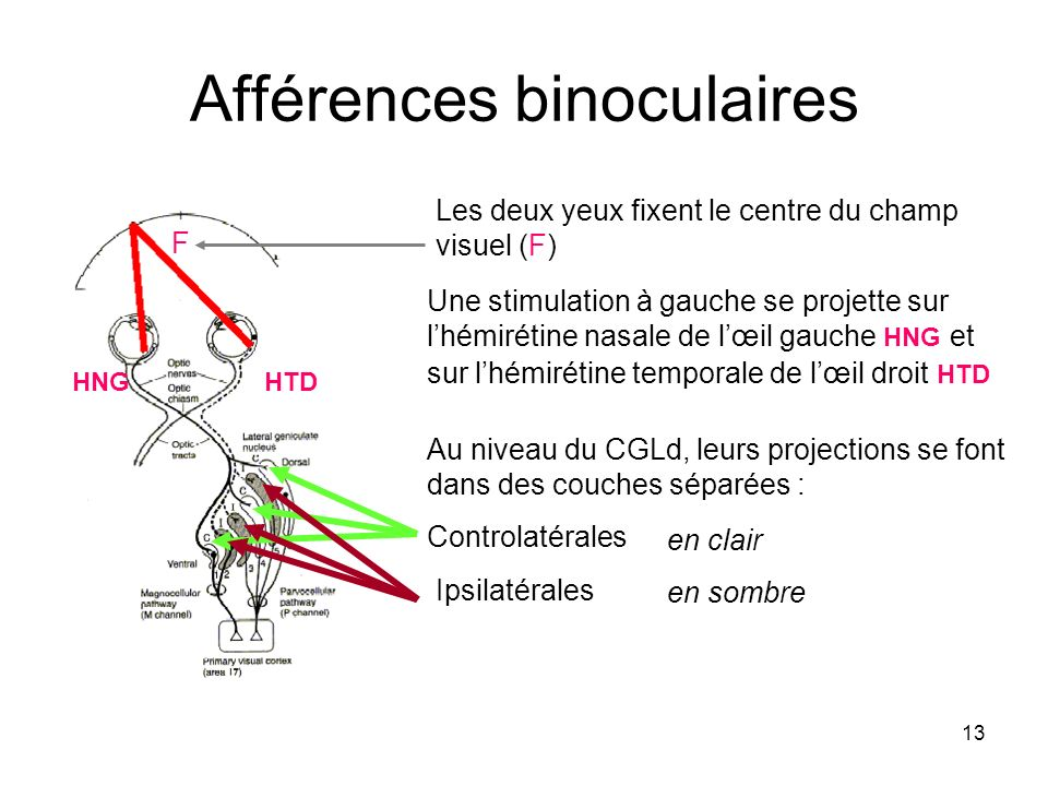 Afférences binoculaires