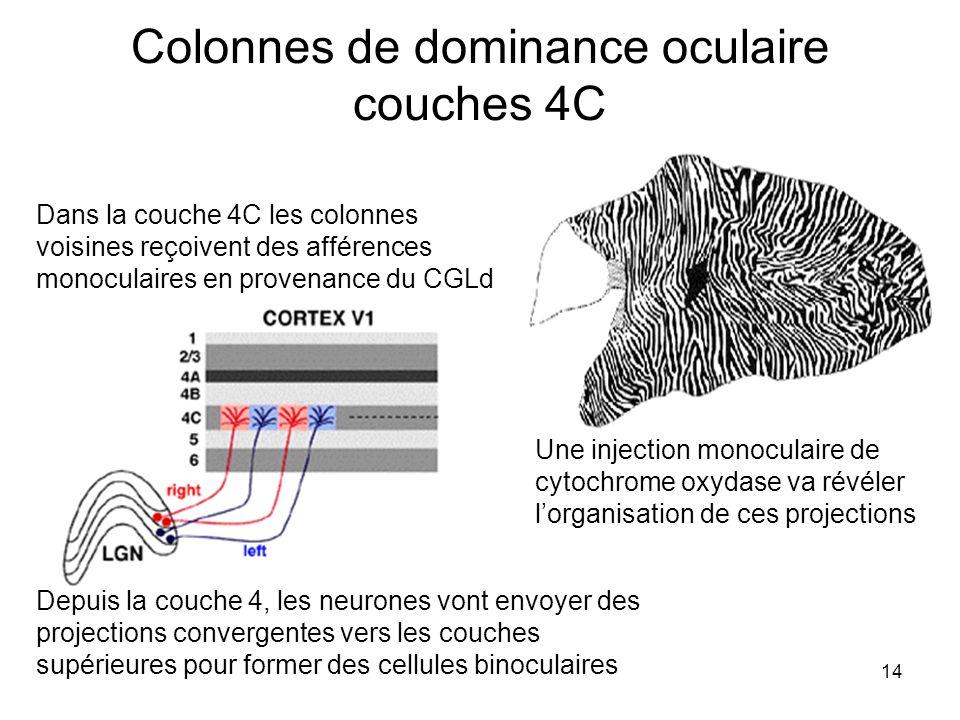 Colonnes de dominance oculaire couches 4C