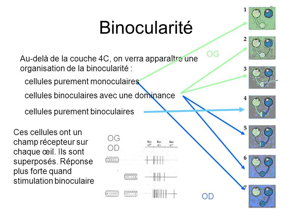 Binocularité OG. Au-delà de la couche 4C, on verra apparaître une organisation de la binocularité :