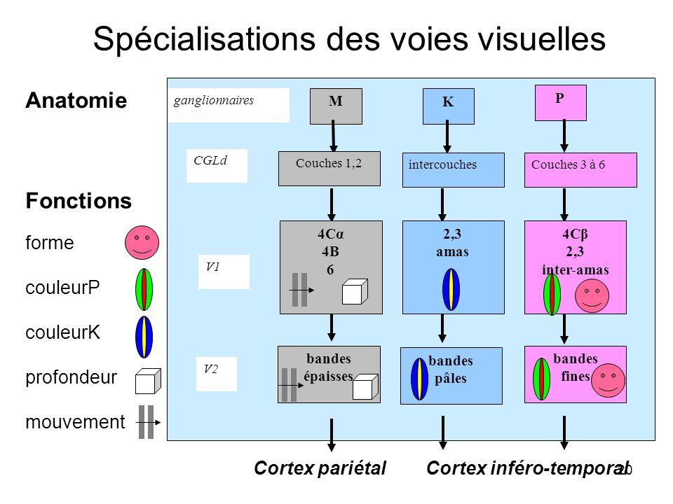 Spécialisations des voies visuelles