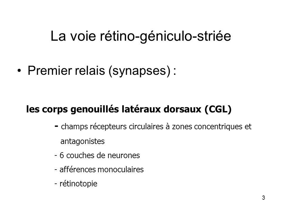 La voie rétino-géniculo-striée