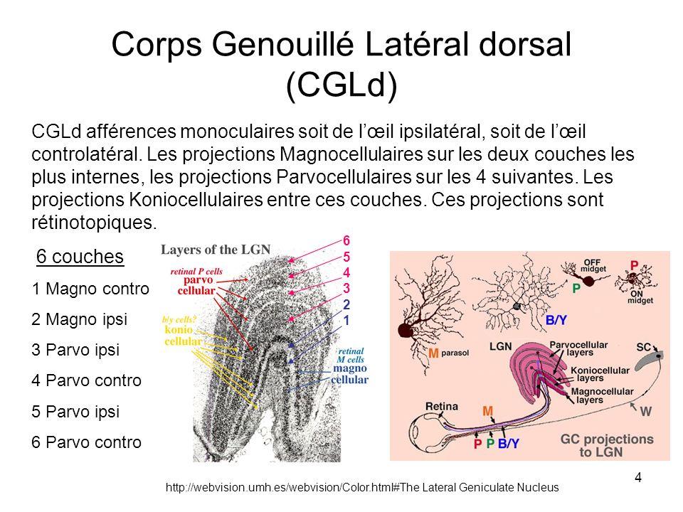 Corps Genouillé Latéral dorsal (CGLd)