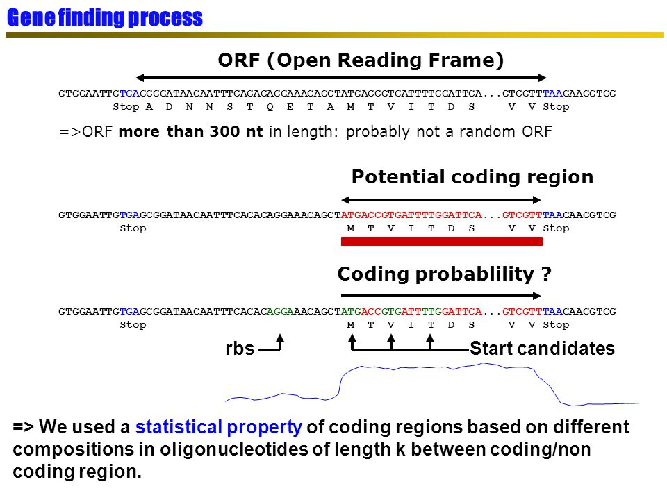 Gene finding process ORF (Open Reading Frame) Potential coding region