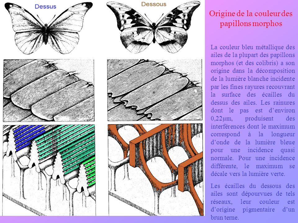 Origine de la couleur des papillons morphos