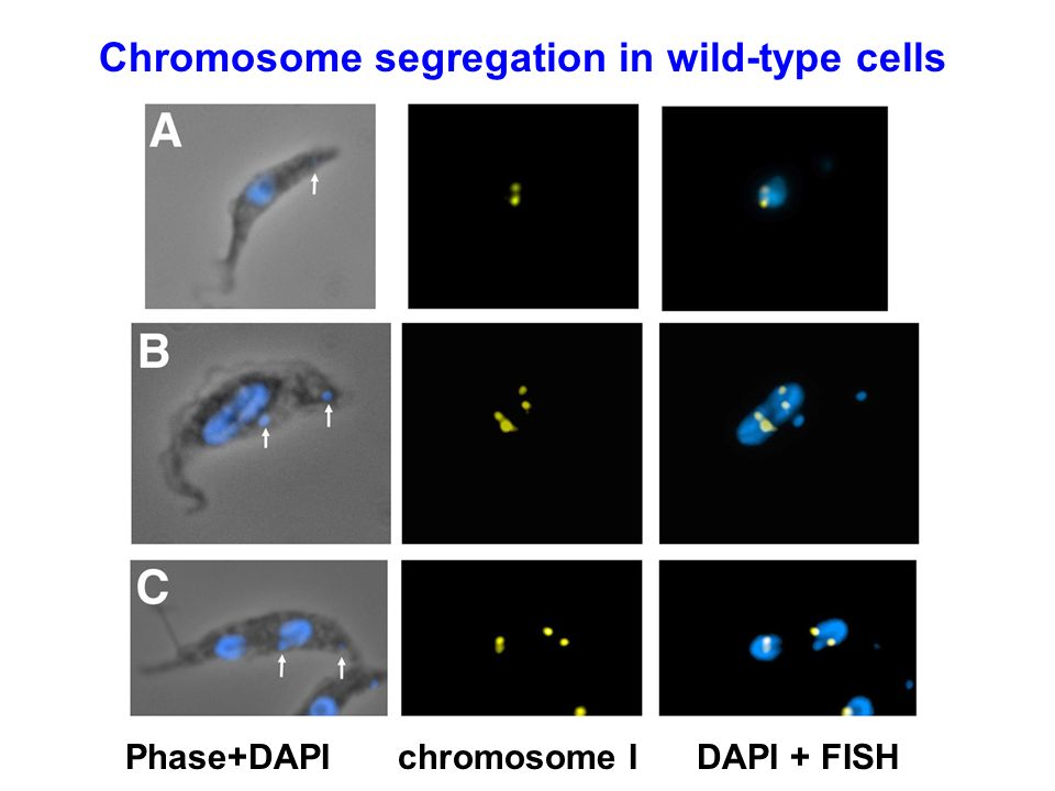 Chromosome segregation in wild-type cells
