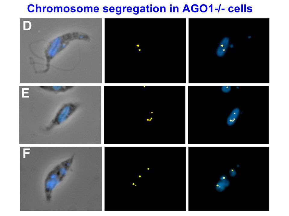 Chromosome segregation in AGO1-/- cells